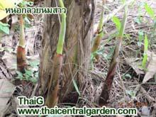 ขายหน่อกล้วยนมสาว ราคา80บาท และพันธุ์ไม้ทั่วไป ที่อู่ทอง สุพรรณบุรี
