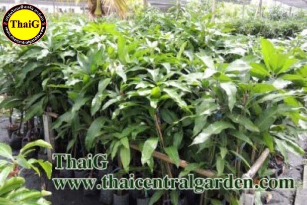 ขายกิ่งพันธุ์มะม่วง สวน ThaiG สามพราน นครปฐม