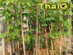 ขายต้นกล้าไม้ป่า กล้าไม้ พยุงขนาด80เซ็นต์ขึน ต้นตรงรากใบดี
