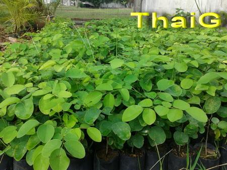 ไม้กล้าพยุง สวนไทยเซ็นทรัล การ์เด้น