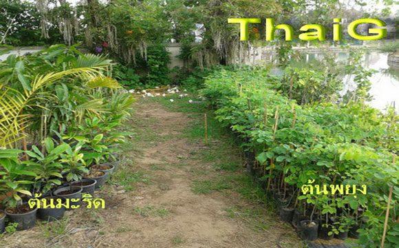 ต้นกล้าไม้ป่า พยุง มะริด ชิงชัน กฤษณา