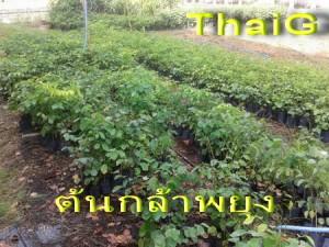 ต้นกล้าพยุง ลำต้นตรง รากแข็งแรงที่ ThaiG