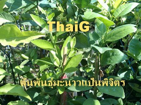 ต้นพันธุ์มะนาวแป้น พิจิตร ผลดกน้ำหอม เนื้อบาง รสชาดไม่แพ้มะนาว แป้นรำไพ สนใจกิ่งพันธุ์โทร. 081-5582320 ไลน์ไอดี: yimthais
