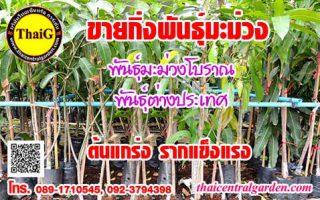 ขายกิ่งพันธุ์มะม่วง สวนมะม่วงThaiG สามพราน นครปฐม