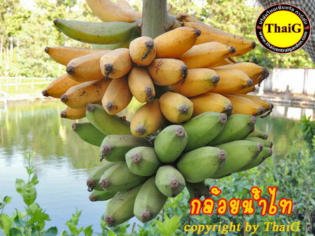 ต้น ผล เครือ กล้วย น้ำไทย