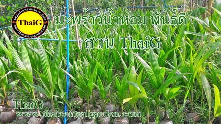 ThaiG พันธุ์มะพร้าว น้ำหอม