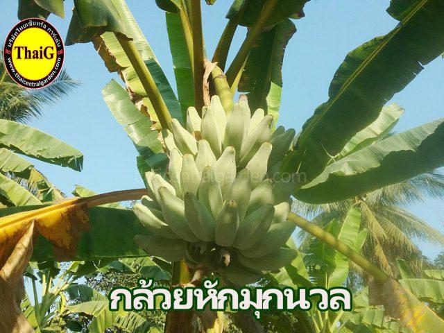 กล้วยหักมุกนวล