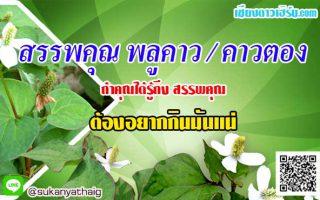 สรรพคุณพลูคาว คาวตอง สมุนไพรต้านมะเร็งและแก้น้ำเหลืองเสีย